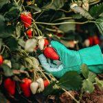 Cara merawat strawberry