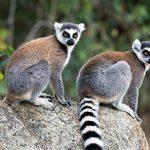 bintang film Madagascar si Lemur Ekor Cincin
