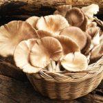 cara budidaya jamur tiram