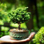 fakta tanaman bonsai