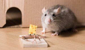 cara mengusir tikus dari rumah